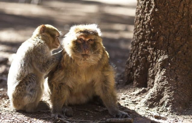 Barbary Apes of Morocco