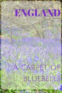 Carpet of bluebells
