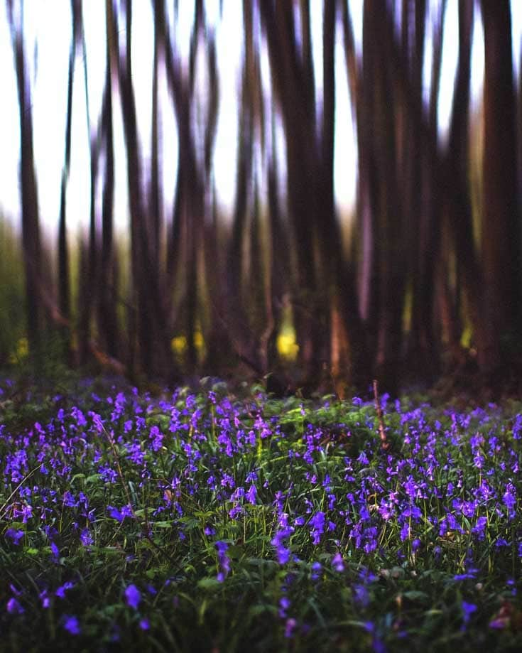 bluebells in Cheddar Woods
