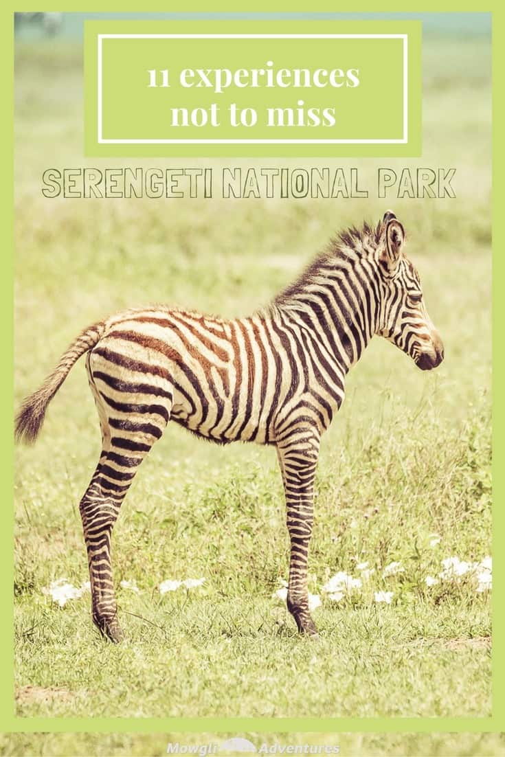 Going on safari in the Serengeti National Park was a huge experience. We had such an amazing time and saw so many things along the way. If you need any convincing, or looking for inspiration, here are a few incredible experiences to have on safari in the Serengeti, Tanzania. #SerengetiSafari #Tanzania Read the full article here: http://mowgli-adventures.com/experiences-on-safari-in-the-serengeti