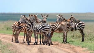 Planning a safari isn't like preparing for your average holiday. Our guide gives you all you need to know about a safari and how to get the most out of your budget. Follow our guide to planning a safari to help you have the trip of a lifetime truly unforgettable. #AfricanSafari #SafariPlanning Read the full post here: //mowgli-adventures.com/planning-a-safari-guide/