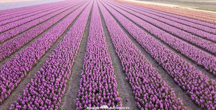 Things to do in the Netherlands - holland tulip fields_