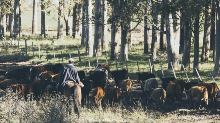 Driving in Uruguay - gaucho and cattle