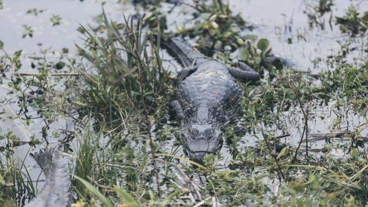 Iberá wetlands - alligators
