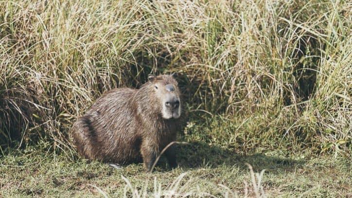 Iberá wetlands - capybara