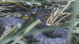Ibera wetlands - yellow anaconda