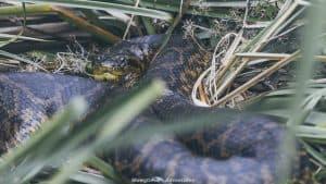 Ibera wetlands - yellow anaconda