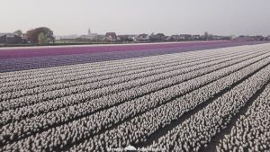Netherlands road trip itinerary tulip fields