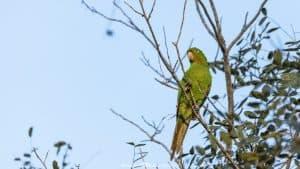 Itaipu Ecological Reserves parakeet