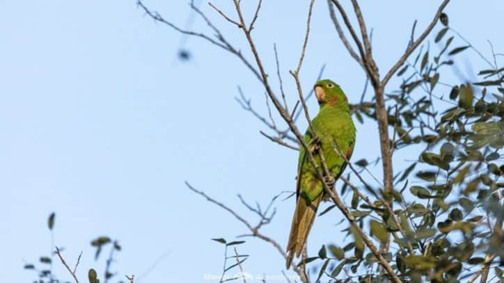Itaipu Ecological Reserves parakeet