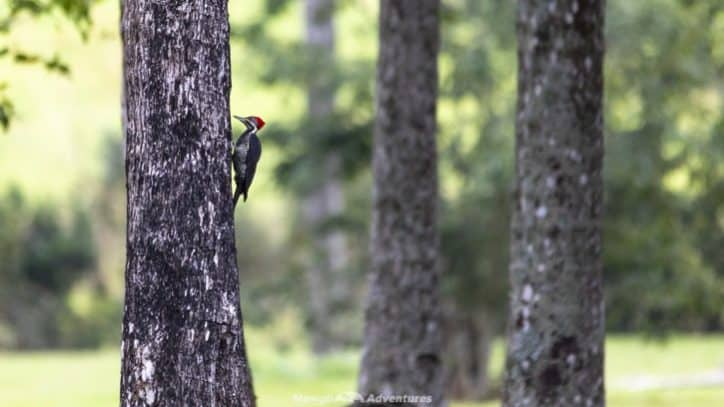 Itaipu Ecological Reserves woodpecker