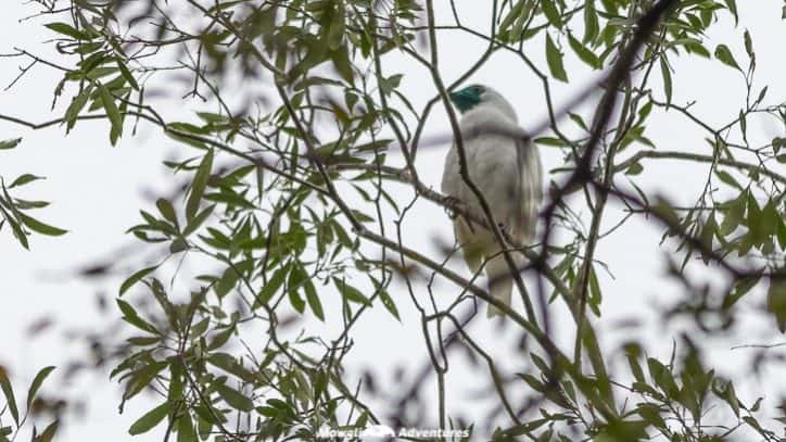 Mbaracayu Forest Nature Reserve bare-throated bellbird