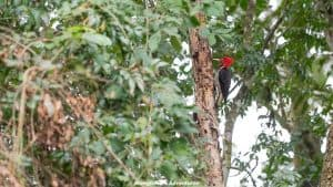 Mbaracayu Forest Nature Reserve helmeted woodpecker