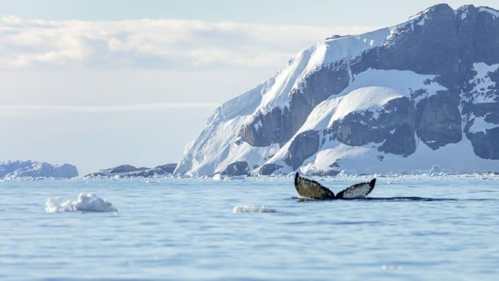 Antarctica on an expedition cruise - whale fluke