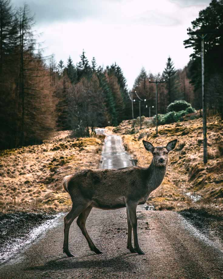 A wild deer on the roads on Scotland's NC500