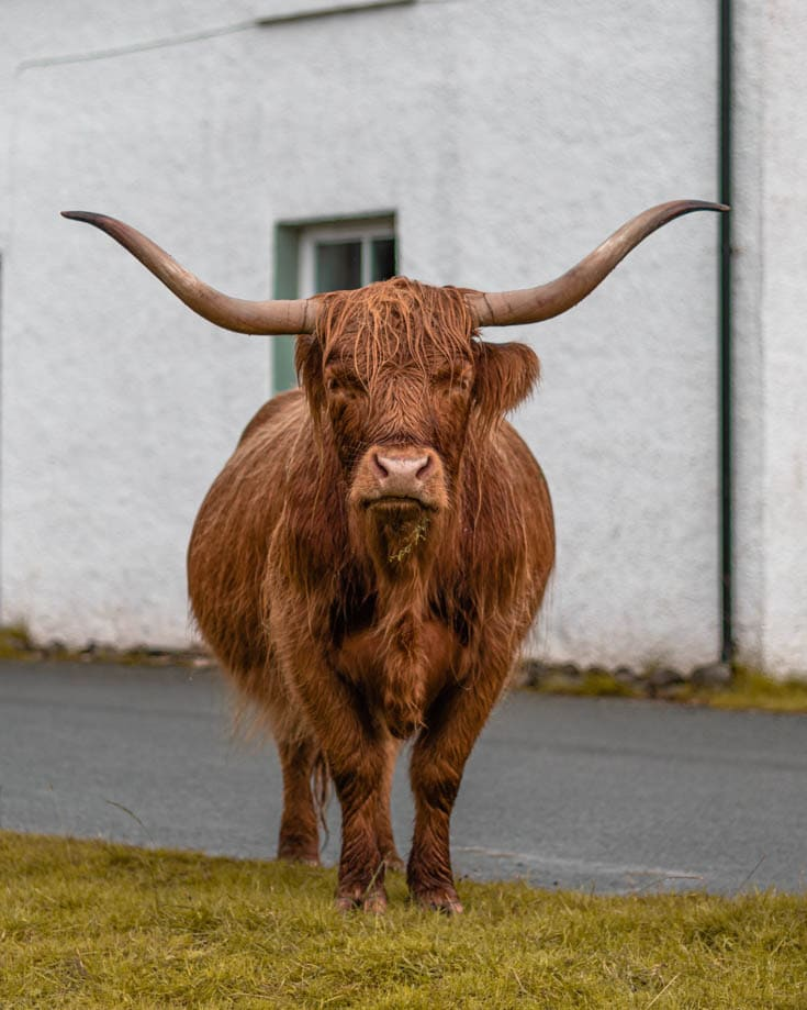 Highland cow with huge horns in a village in Scotland