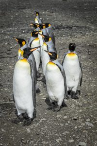 Wildlife in Antarctica - 150k king penguins