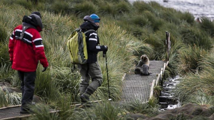 Wildlife in Antarctica - Antarctic fur seals in South Georgia