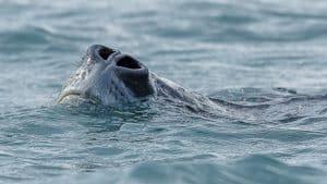 Wildlife in Antarctica - Leopard Seal nose
