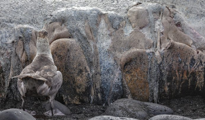 Wildlife in Antarctica and South Georgia - Giant Petrel eating a whale carcass