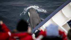 Wildlife in Antarctica and South Georgia - Orca