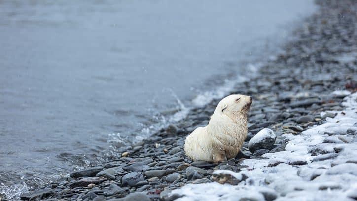 Wildlife in Antarctica and South Georgia - blonde antarctic fur seal