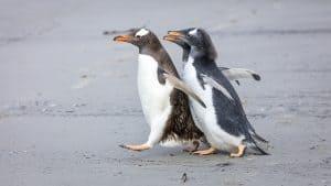 Wildlife in Antarctica and South Georgia - gentoo penguins
