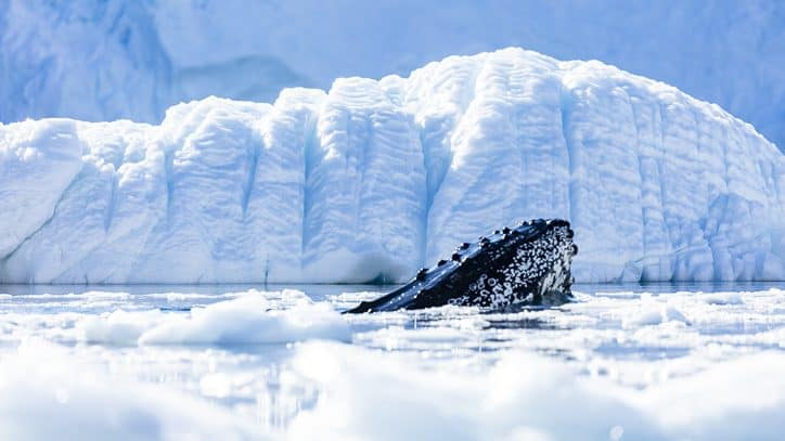 Wildlife in Antarctica and South Georgia - humpback whales