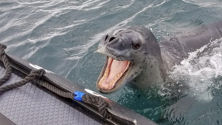 Wildlife in Antarctica and South Georgia - leopard seal bite