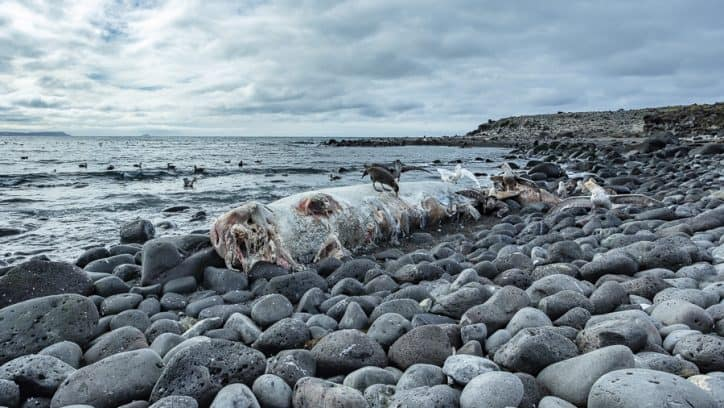 Wildlife in Antarctica and South Georgia - whale carcass