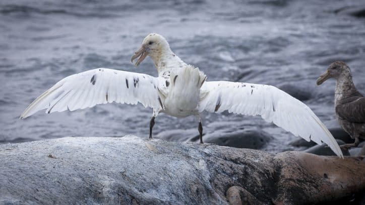Wildlife in Antarctica and South Georgia - white Southern Giant Petrel
