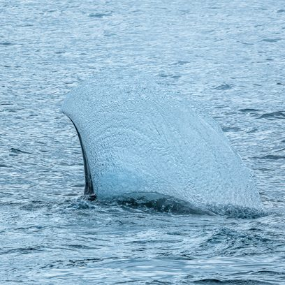 Wildlife in Antarctica - fin whale flipper