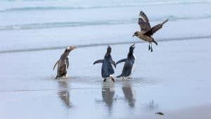 Wildlife in Antarctica - gentoo penguin chasing skua
