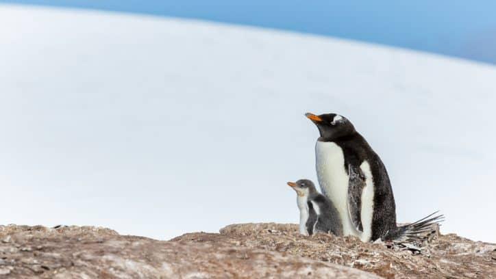 Wildlife in Antarctica gentoo penguin chick and parent