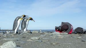 Wildlife in Antarctica - inquisitive king penguins