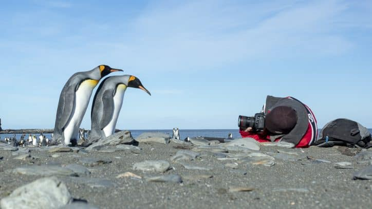 Wildlife in Antarctica - inquisitive king penguins