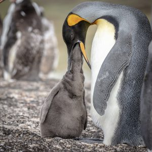 Wildlife in Antarctica - king penguin feeding young