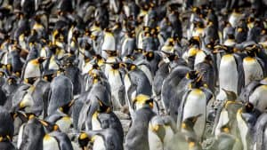 Wildlife in Antarctica - king penguins-2