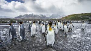 Wildlife in Antarctica - king penguins-3