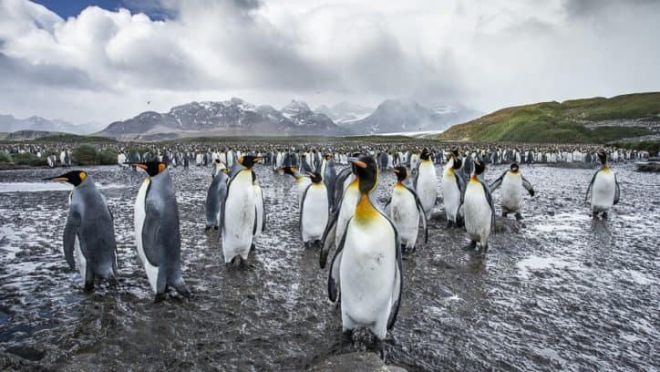 Wildlife in Antarctica - king penguins-3