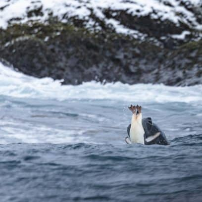 Wildlife in Antarctica - leopard seal catching chinstrap penguin