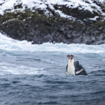 Wildlife in Antarctica - leopard seal catching chinstrap penguin