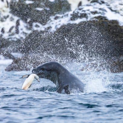Wildlife in Antarctica - leopard seal hunting chinstrap penguin