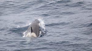 Wildlife in Antarctica - orca killer whale