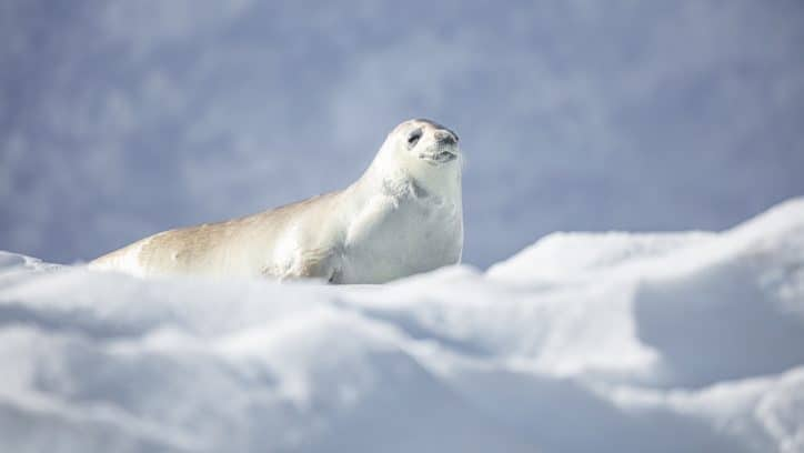 Wildlife in Antarctica - singing weddell seal