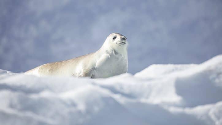 Wildlife in Antarctica - singing weddell seal