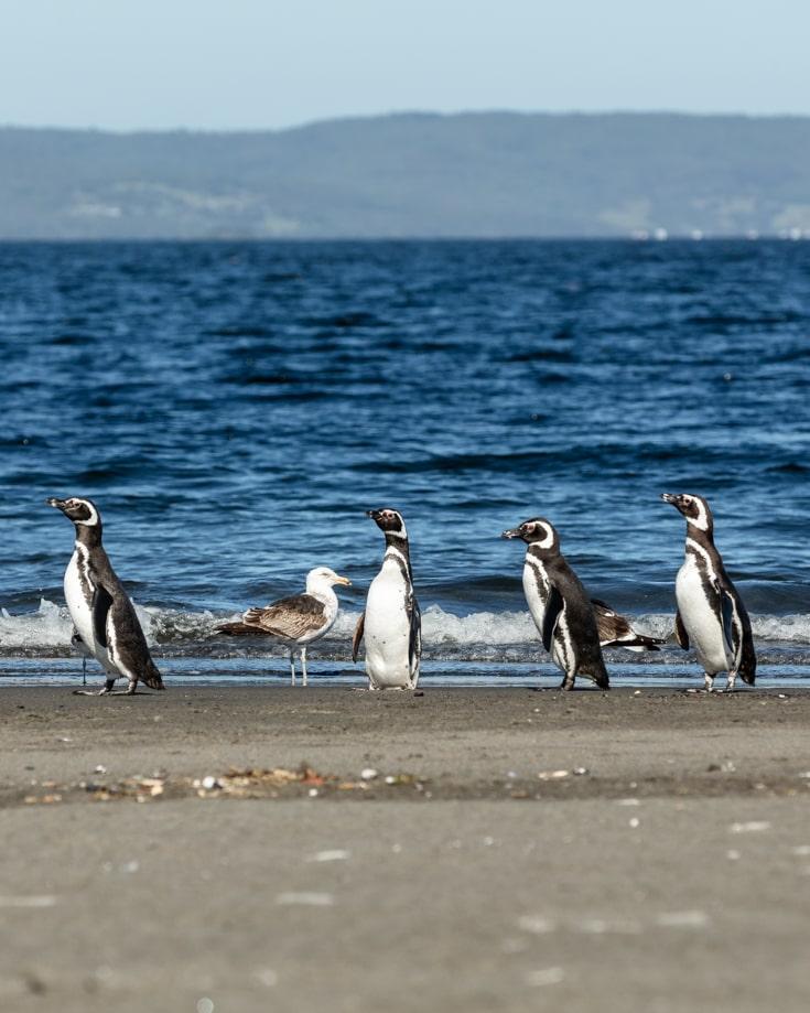 Penguins on Chiloe Island