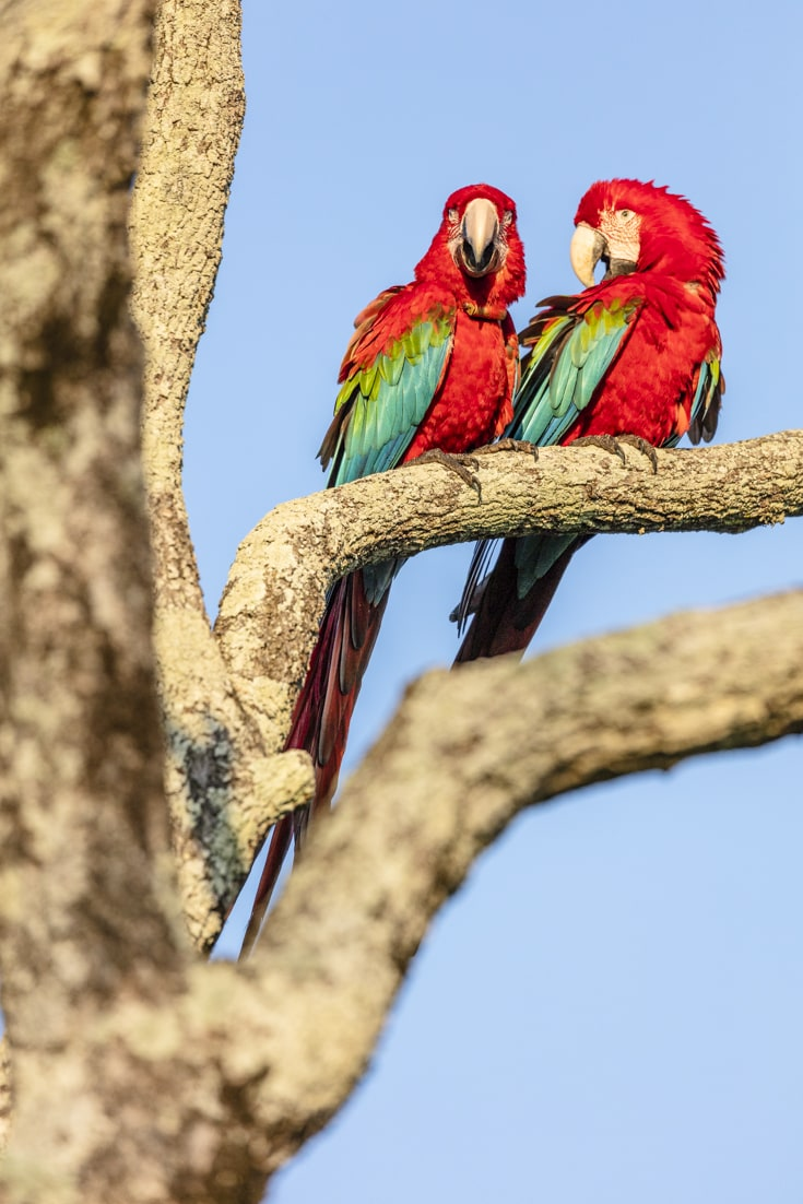 A pair of green winged macaws