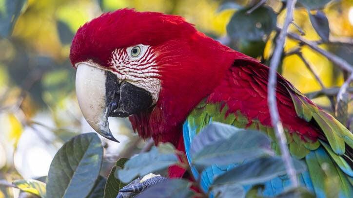 Green winged macaw rewilding in Iberá