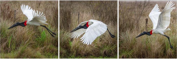 Jabiru stork taking off in Iberá National Park